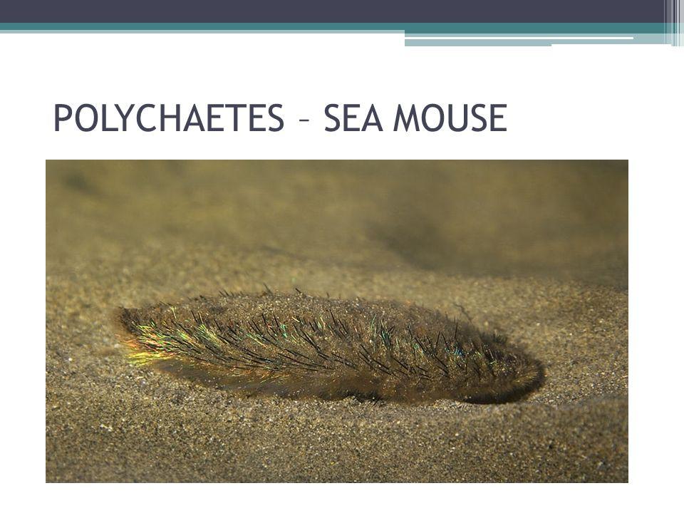POLYCHAETES – SEA MOUSE
