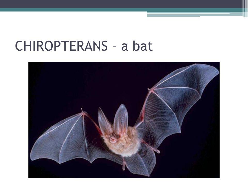 CHIROPTERANS – a bat