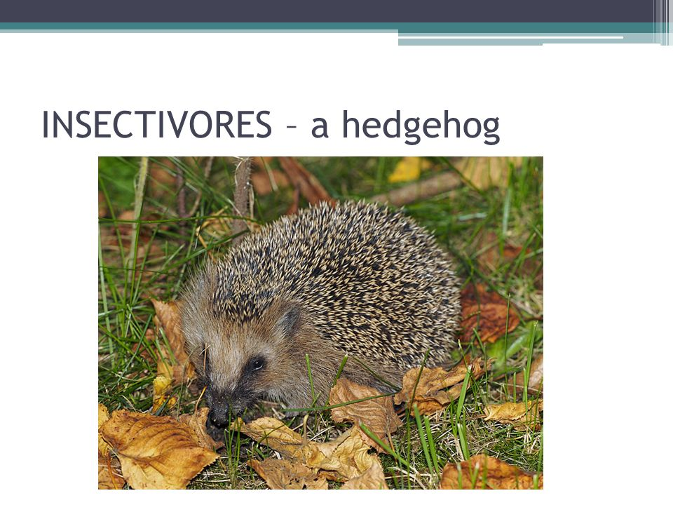 INSECTIVORES – a hedgehog