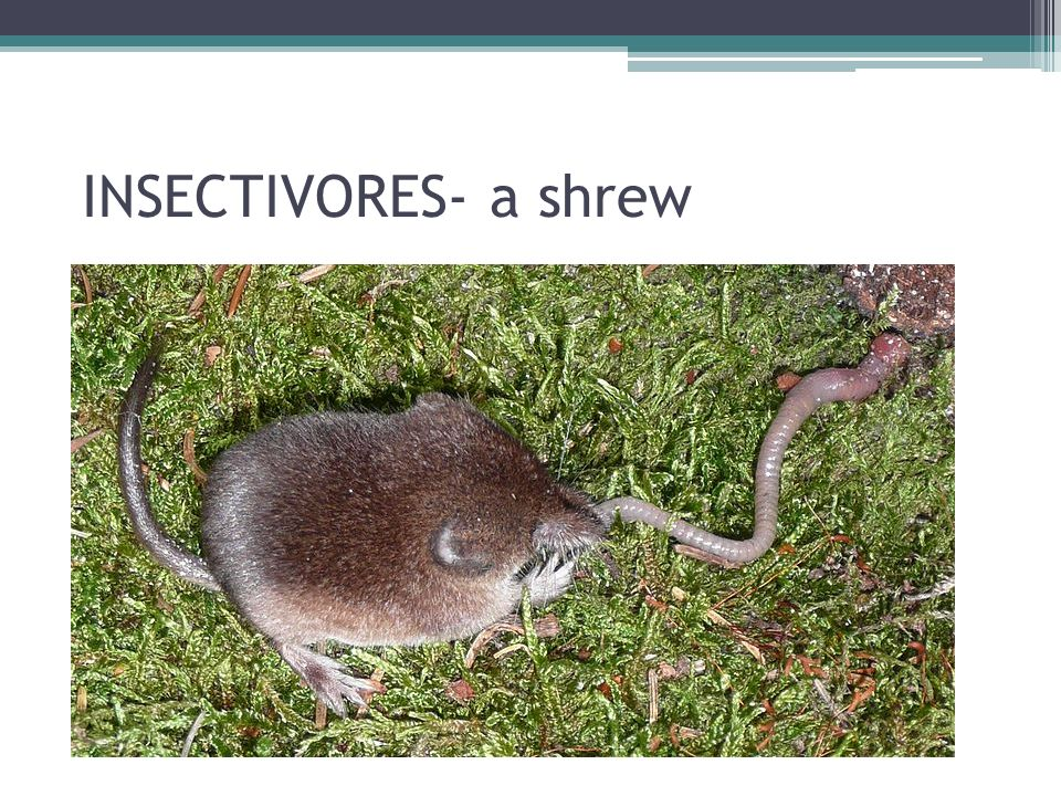 INSECTIVORES- a shrew
