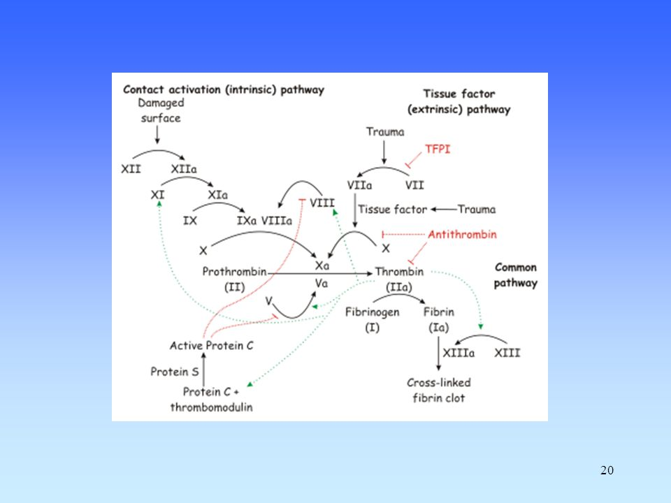 21 Enzymatic cascade (amplification) Several serine proteases Produced by liver (most) Require vitamin K (several, 2, 7, 9, 10, C, S) Requires Ca 2+ (the same, 2, 7, 9, 10, C, S) 3 protein cofactors (not enzymes) Reversible (via production of plasmin) Coagulation