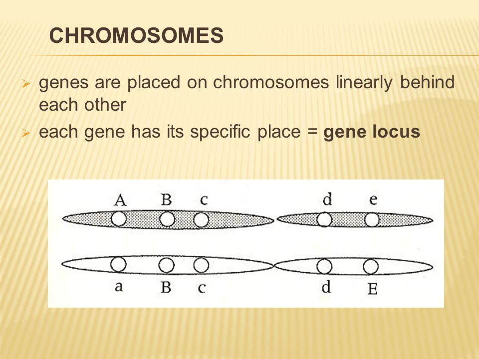  exact picture of chromosomes in nucleus of the individual= karyotype  by all individuals of the same species identical  declination determined by the sex CHROMOSOMES
