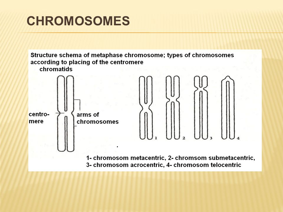  metaphasal chromosome is formed by:  two daughter chromatids  chromatids connected with e centromere  chromosomal arms  according to placing the centromere there are described chromosomes:  metacentric, submetacentric, acrocentric and telocentric CHROMOSOMES