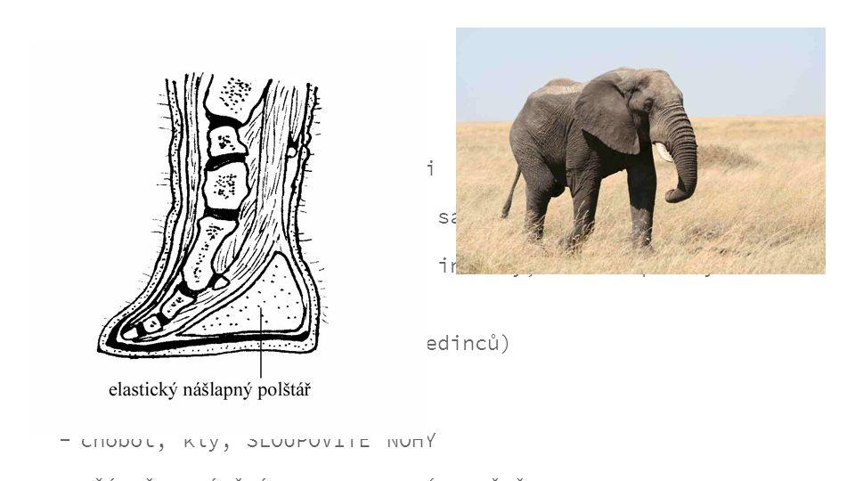 obecné informace...  jedinými zástupci jsou sloni  největší žijící suchozemští savci  3 druhy: slon africký, slon indický, slon nepálský (nedávno o