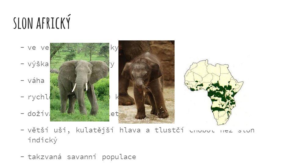 slon africký  ve velké části Afriky  výška až 3,5-4 metry  váha až 7 500 kg  rychlost běhu až 40 km/h  dožívají se 65-90 let  větší uši, kulatěj