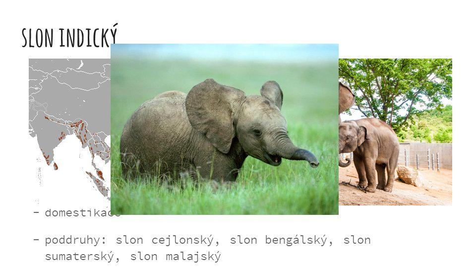 slon indický  v jižní Asii, na Borneu a Sumatře  výška až 3 metry  stáda - 40 jedinců  chobot - 1 prstík  váha asi 2000-5000 kg  domestikace  p