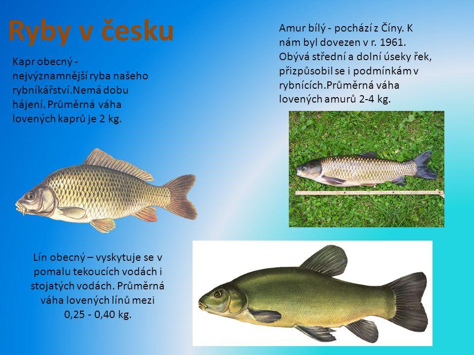 Ryby v česku Kapr obecný - nejvýznamnější ryba našeho rybníkářství.Nemá dobu hájení.