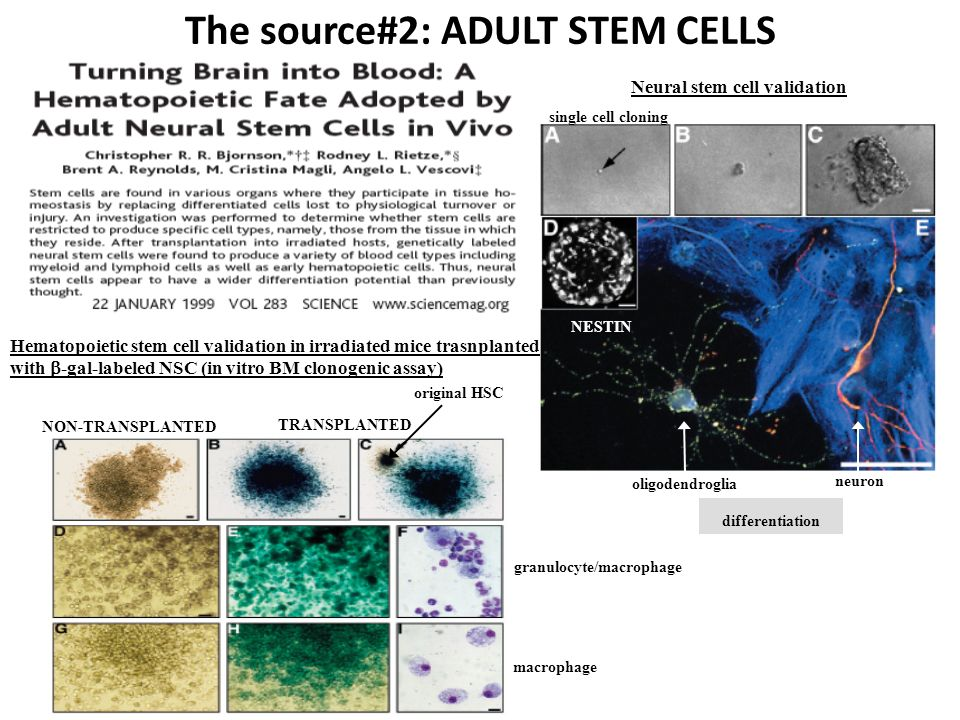 The source#2: ADULT STEM CELLS Neural stem cell validation single cell cloning NESTIN differentiation oligodendroglia neuron Hematopoietic stem cell v