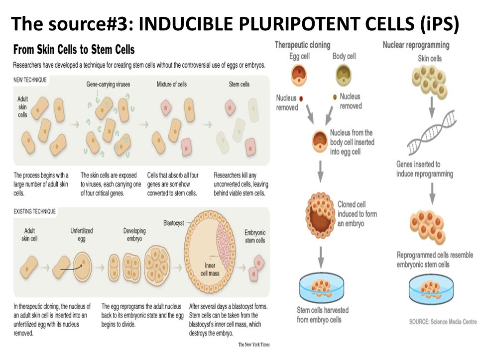 The source#3: INDUCIBLE PLURIPOTENT CELLS (iPS)
