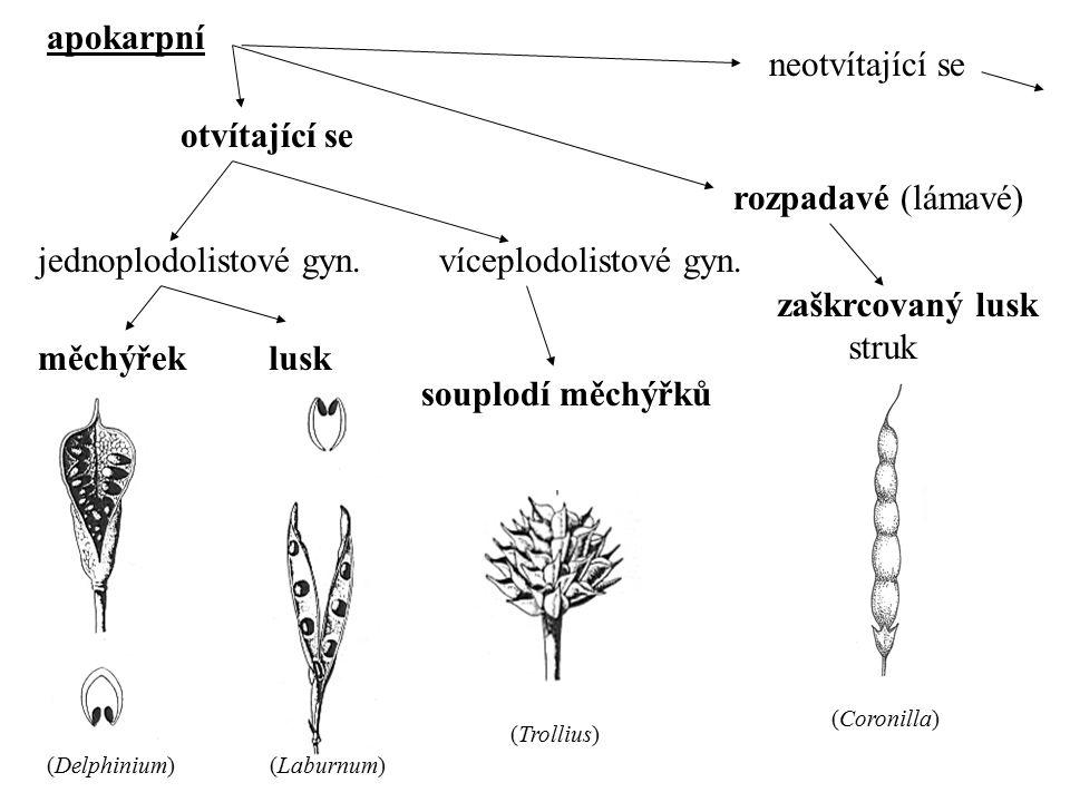 apokarpní otvítající se neotvítající se jednoplodolistové gyn. (Delphinium) víceplodolistové gyn. (Trollius) rozpadavé (lámavé) měchýřeklusk souplodí