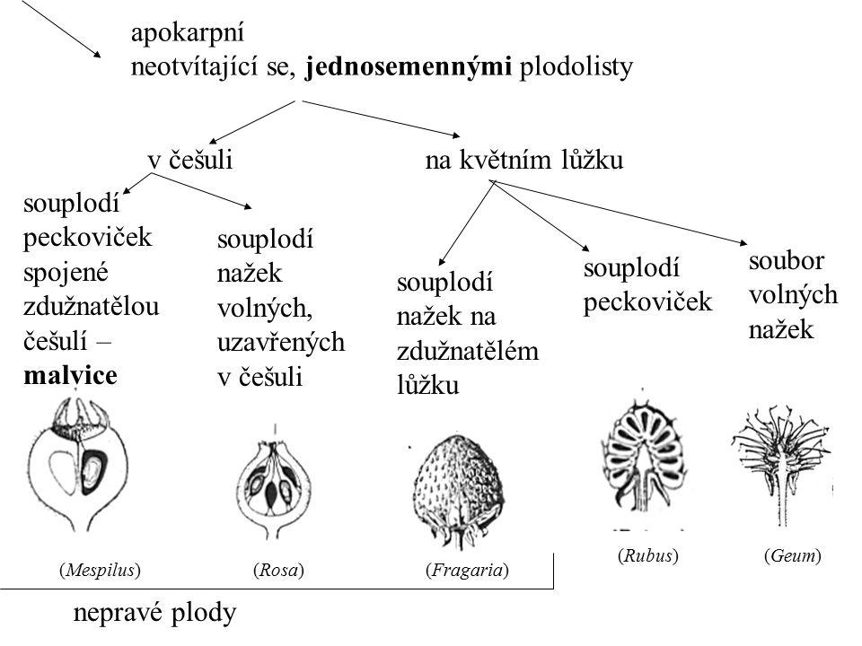 apokarpní neotvítající se, jednosemennými plodolisty souplodí peckoviček spojené zdužnatělou češulí – malvice souplodí nažek volných, uzavřených v češ