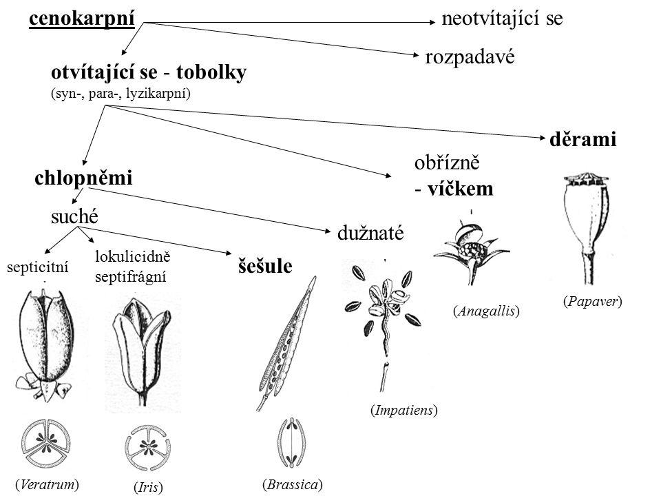 cenokarpníneotvítající se otvítající se - tobolky (syn-, para-, lyzikarpní) chlopněmi obřízně - víčkem děrami rozpadavé septicitní lokulicidně septifr