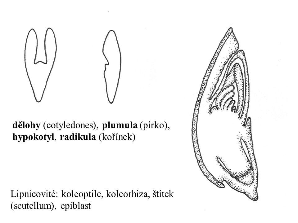 Lipnicovité: koleoptile, koleorhiza, štítek (scutellum), epiblast dělohy (cotyledones), plumula (pírko), hypokotyl, radikula (kořínek)