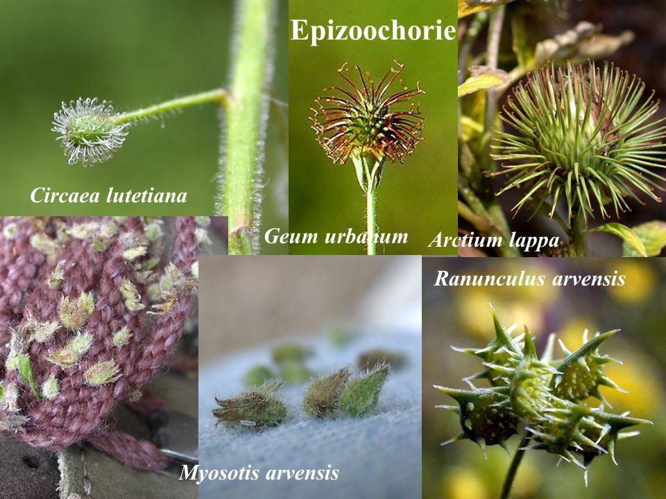 Circaea lutetiana Ranunculus arvensis Arctium lappa Epizoochorie Geum urbanum Myosotis arvensis