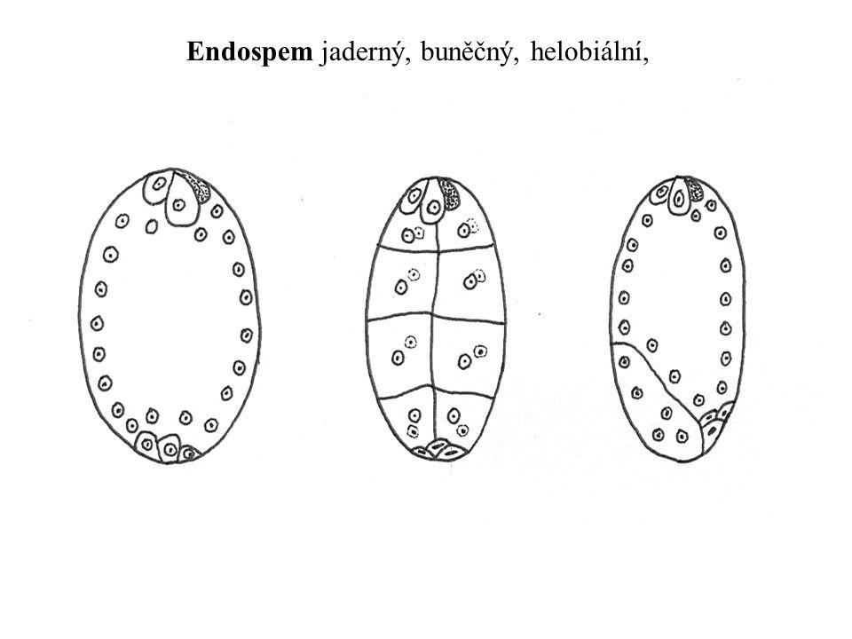 Endospem jaderný, buněčný, helobiální,