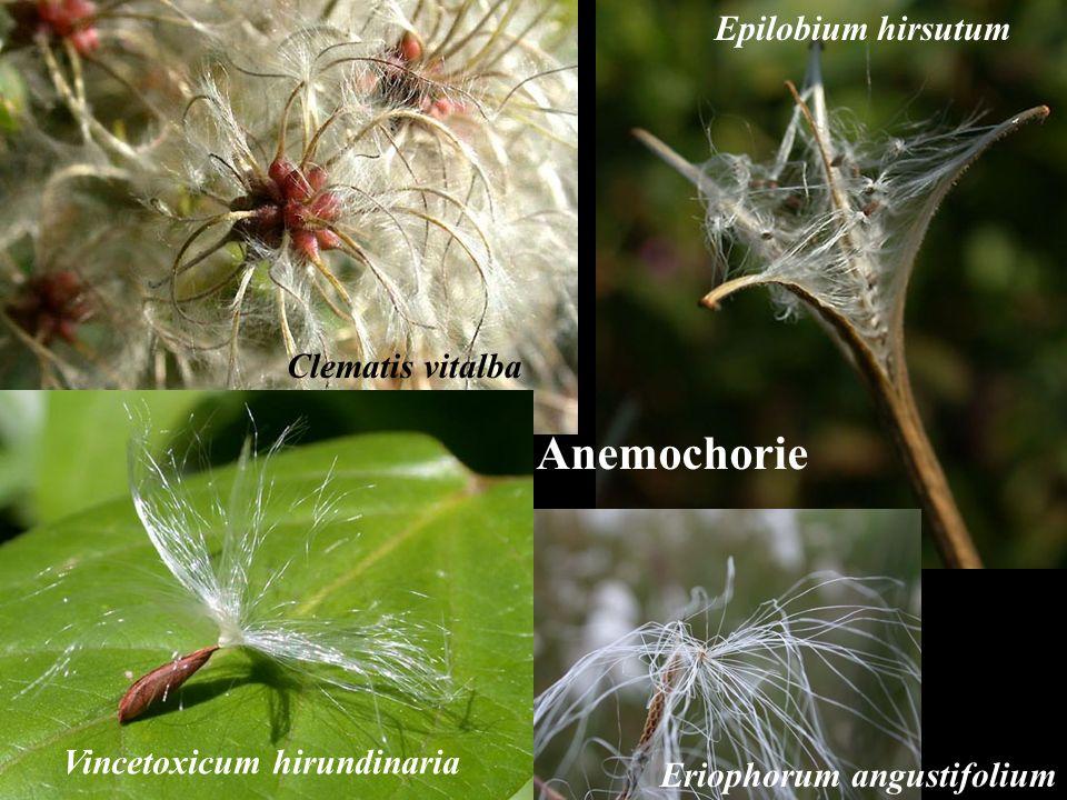 Anemochorie Epilobium hirsutum Vincetoxicum hirundinaria Eriophorum angustifolium Clematis vitalba