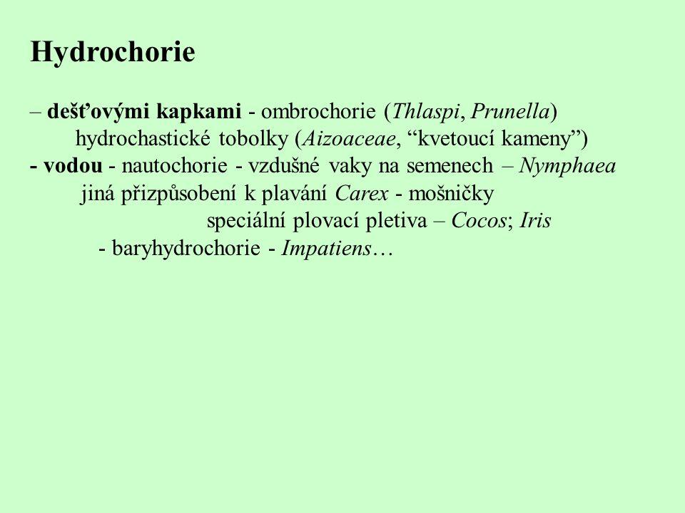 """Hydrochorie – dešťovými kapkami - ombrochorie (Thlaspi, Prunella) hydrochastické tobolky (Aizoaceae, """"kvetoucí kameny"""") - vodou - nautochorie - vzdušn"""