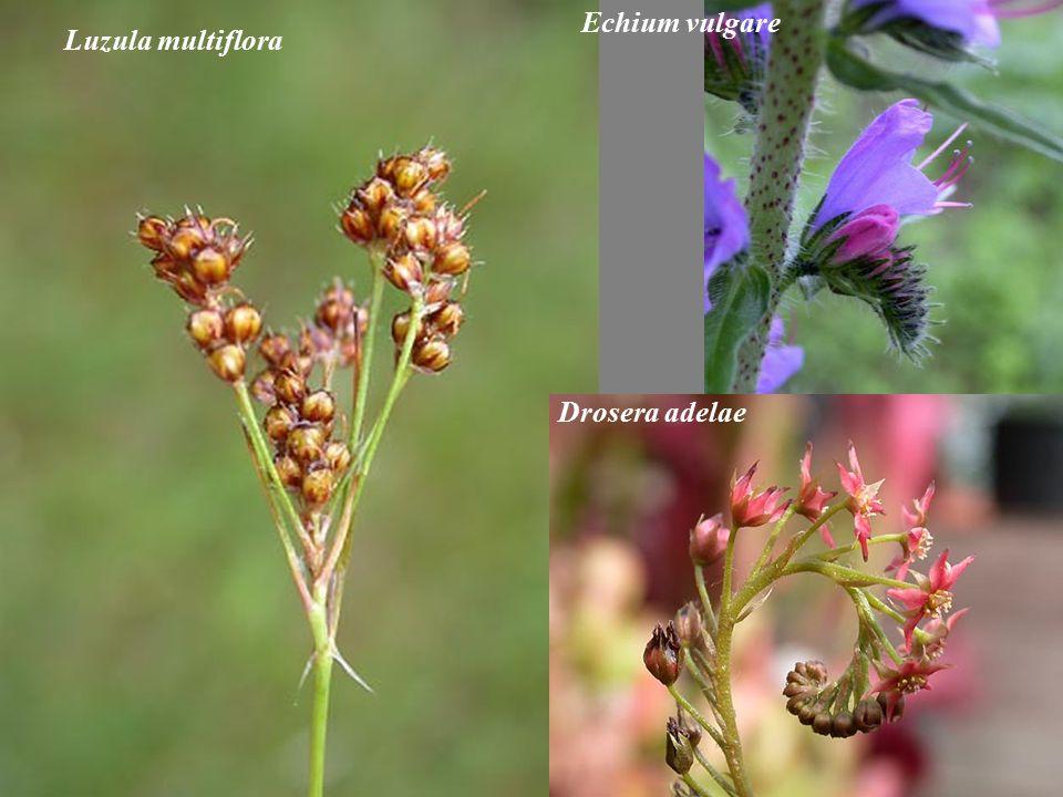 Luzula multiflora Echium vulgare Drosera adelae