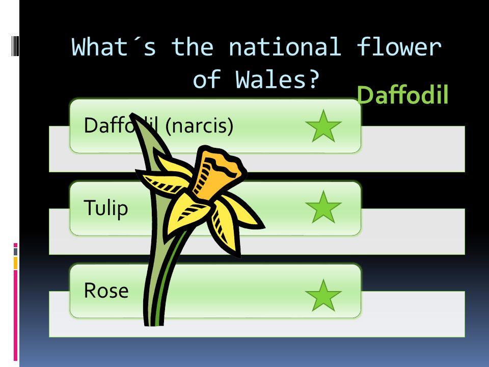 What´s the national flower of Wales Daffodil (narcis)TulipRose Daffodil