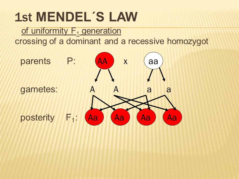 1st MENDEL´S LAW of uniformity F 1 generation crossing of a dominant and a recessive homozygot parents P: gametes: posterity F 1 : AA x aa A A a a Aa