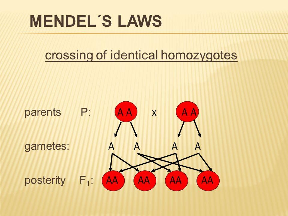 of heterogeneity F2 generation crossing two heterozygotes parents P: gametes: posterity F 1 : Aa x Aa A a Aa AAAa aa phenotypic splitting ratio 3 : 1 genotypic splitting ratio AA : Aa : aa 1 : 2 : 1 2 nd MENDEL´S LAW