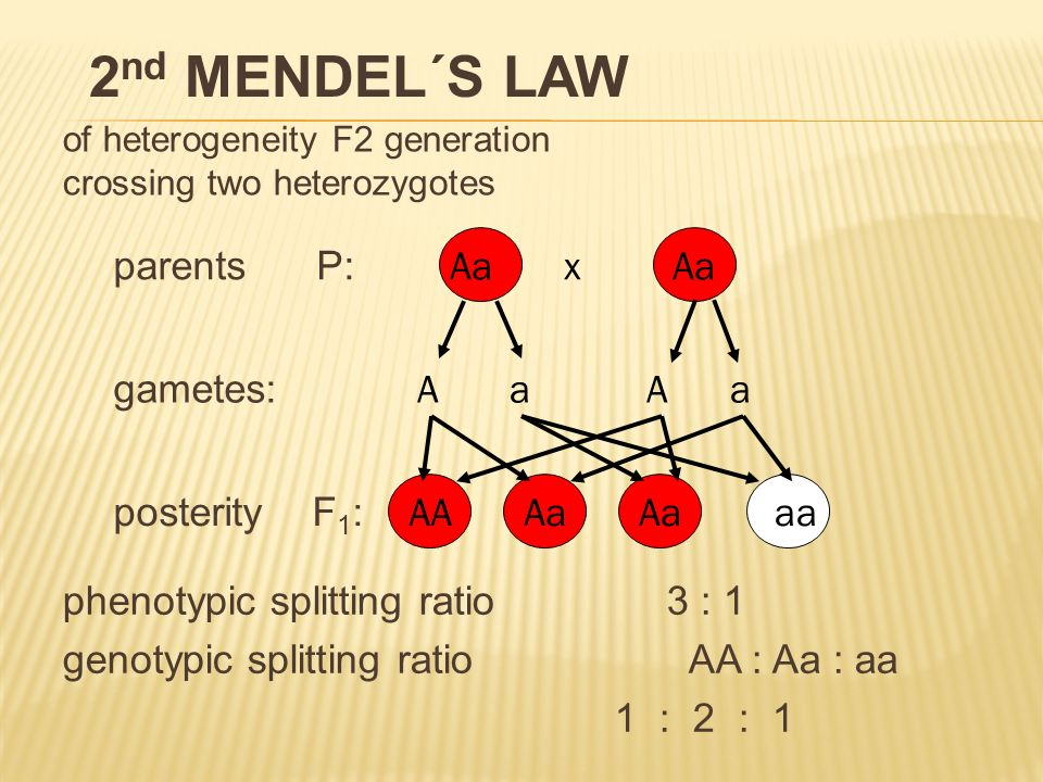 of heterogeneity F2 generation crossing two heterozygotes parents P: gametes: posterity F 1 : Aa x Aa A a Aa AAAa aa phenotypic splitting ratio 3 : 1 genotypic splitting ratio AA : Aa : aa 1 : 2 : 1 2 nd MENDEL´S LAW