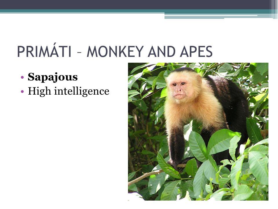 PRIMÁTI – MONKEY AND APES Sapajous High intelligence