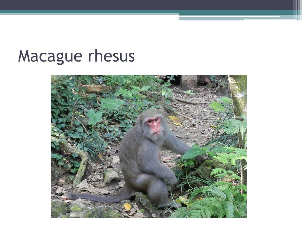 Macague rhesus