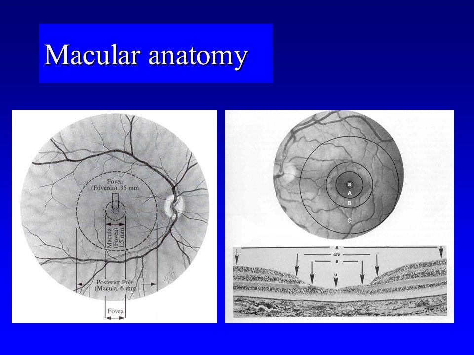 Macular anatomy