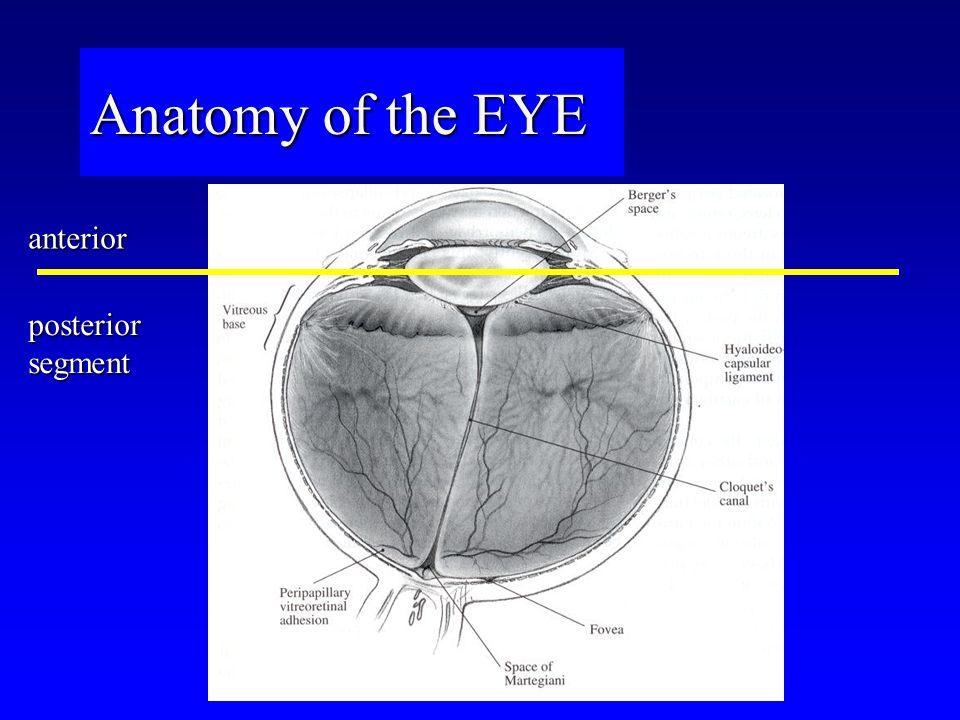 Anatomy of the EYE anterior posterior segment