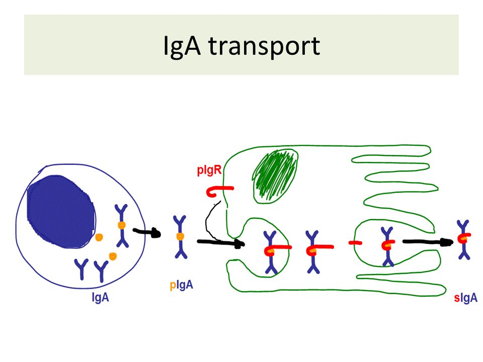 IgA transport