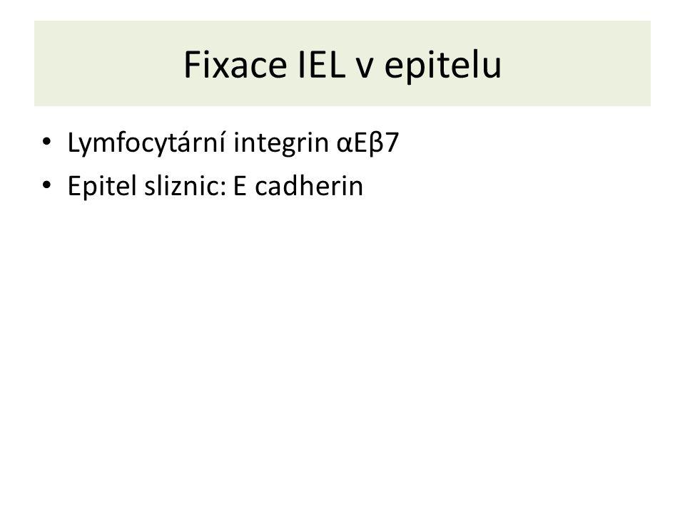 Fixace IEL v epitelu Lymfocytární integrin αEβ7 Epitel sliznic: E cadherin