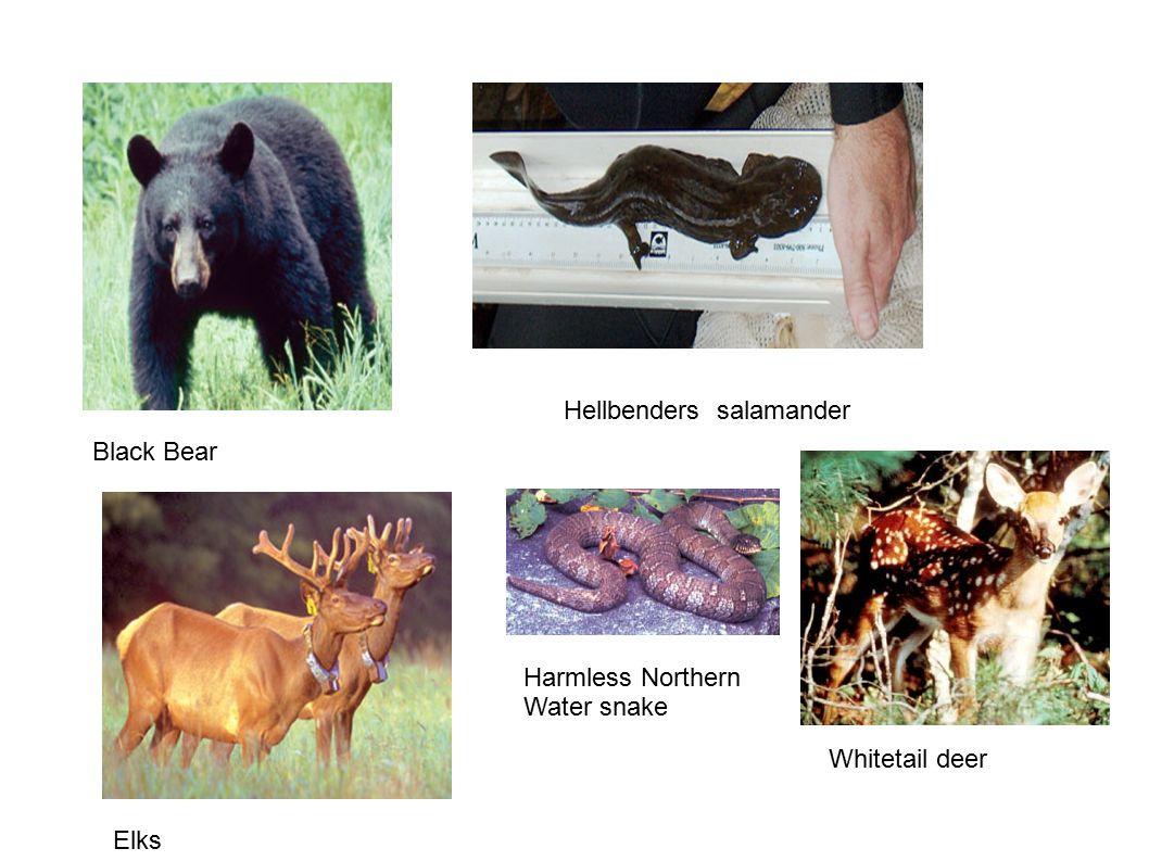 Black Bear Hellbenders salamander Elks Harmless Northern Water snake Whitetail deer