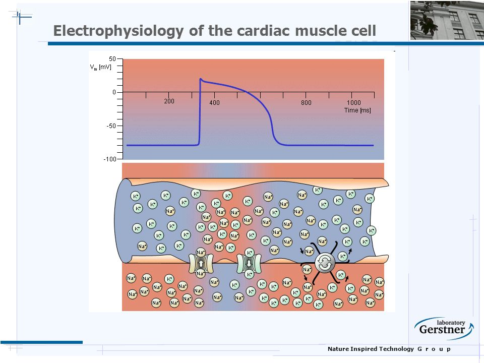 Nature Inspired Technology G r o u p Electrophysiology of the cardiac muscle cell