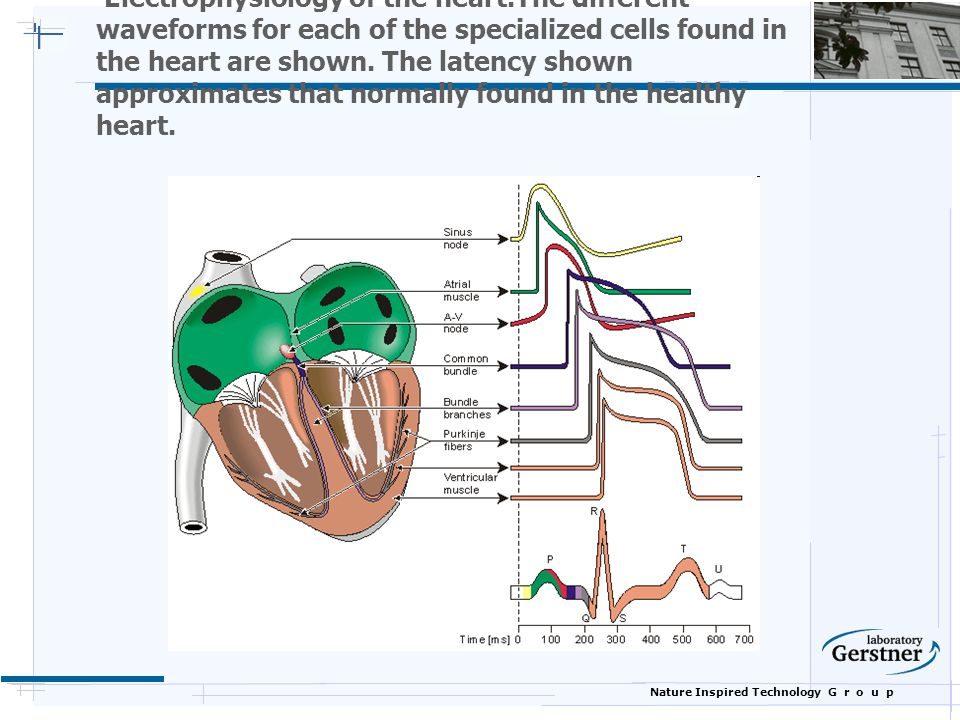 Nature Inspired Technology G r o u p Electrophysiology of the heart.The different waveforms for each of the specialized cells found in the heart are shown.