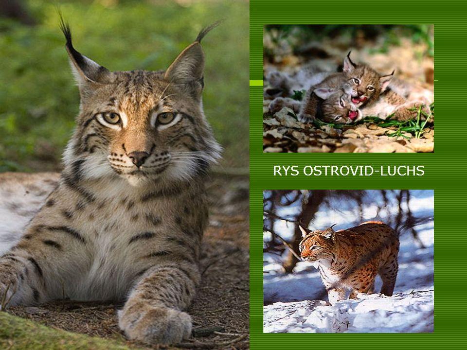 RYS OSTROVID-LUCHS