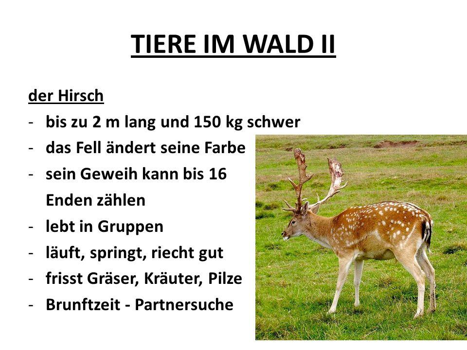 TIERE IM WALD II der Hirsch -bis zu 2 m lang und 150 kg schwer -das Fell ändert seine Farbe -sein Geweih kann bis 16 Enden zählen -lebt in Gruppen -lä