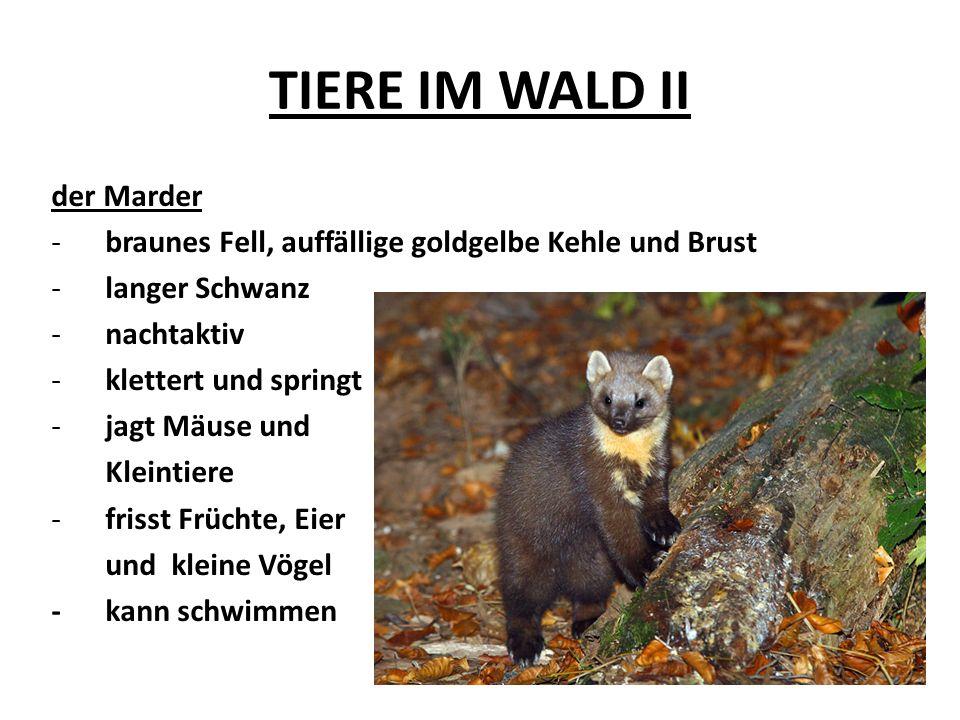 TIERE IM WALD II der Marder -braunes Fell, auffällige goldgelbe Kehle und Brust -langer Schwanz -nachtaktiv -klettert und springt -jagt Mäuse und Klei