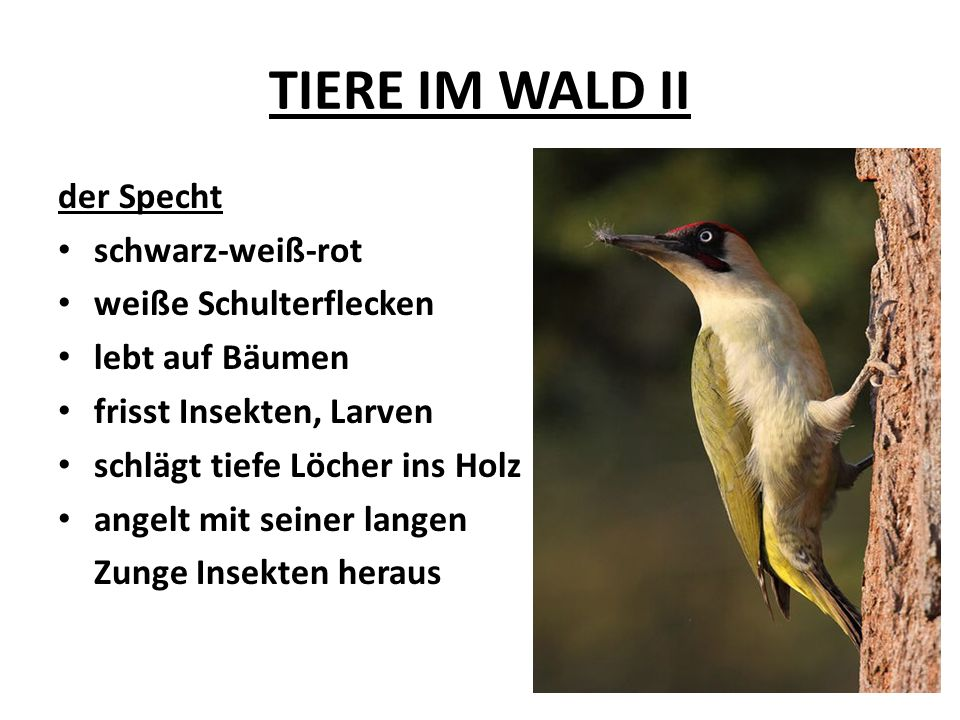 TIERE IM WALD II Zusammenfassung: HIRSCH - MARDER - EULE – SPECHT -Wo leben diese Tiere.