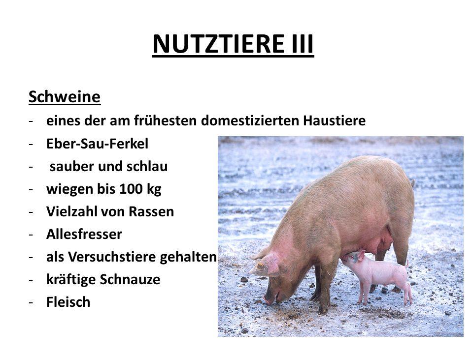 NUTZTIERE III Schweine -eines der am frühesten domestizierten Haustiere -Eber-Sau-Ferkel - sauber und schlau -wiegen bis 100 kg -Vielzahl von Rassen -Allesfresser -als Versuchstiere gehalten -kräftige Schnauze -Fleisch