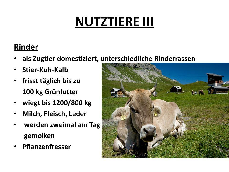 NUTZTIERE III Rinder als Zugtier domestiziert, unterschiedliche Rinderrassen Stier-Kuh-Kalb frisst täglich bis zu 100 kg Grünfutter wiegt bis 1200/800 kg Milch, Fleisch, Leder werden zweimal am Tag gemolken Pflanzenfresser
