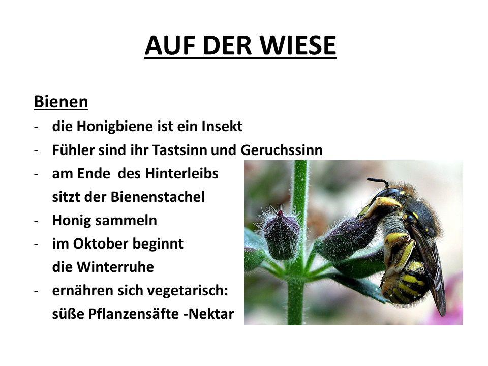 AUF DER WIESE Bienen -die Honigbiene ist ein Insekt -Fühler sind ihr Tastsinn und Geruchssinn -am Ende des Hinterleibs sitzt der Bienenstachel -Honig sammeln -im Oktober beginnt die Winterruhe -ernähren sich vegetarisch: süße Pflanzensäfte -Nektar