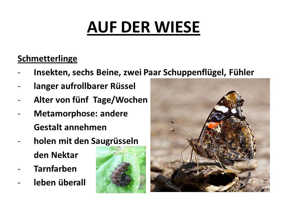 AUF DER WIESE Schmetterlinge -Insekten, sechs Beine, zwei Paar Schuppenflügel, Fühler -langer aufrollbarer Rüssel -Alter von fünf Tage/Wochen -Metamorphose: andere Gestalt annehmen -holen mit den Saugrüsseln den Nektar -Tarnfarben -leben überall
