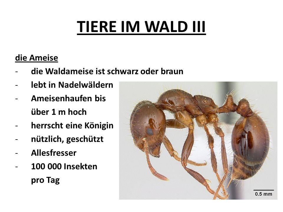 TIERE IM WALD III die Ameise -die Waldameise ist schwarz oder braun -lebt in Nadelwäldern -Ameisenhaufen bis über 1 m hoch -herrscht eine Königin -nüt