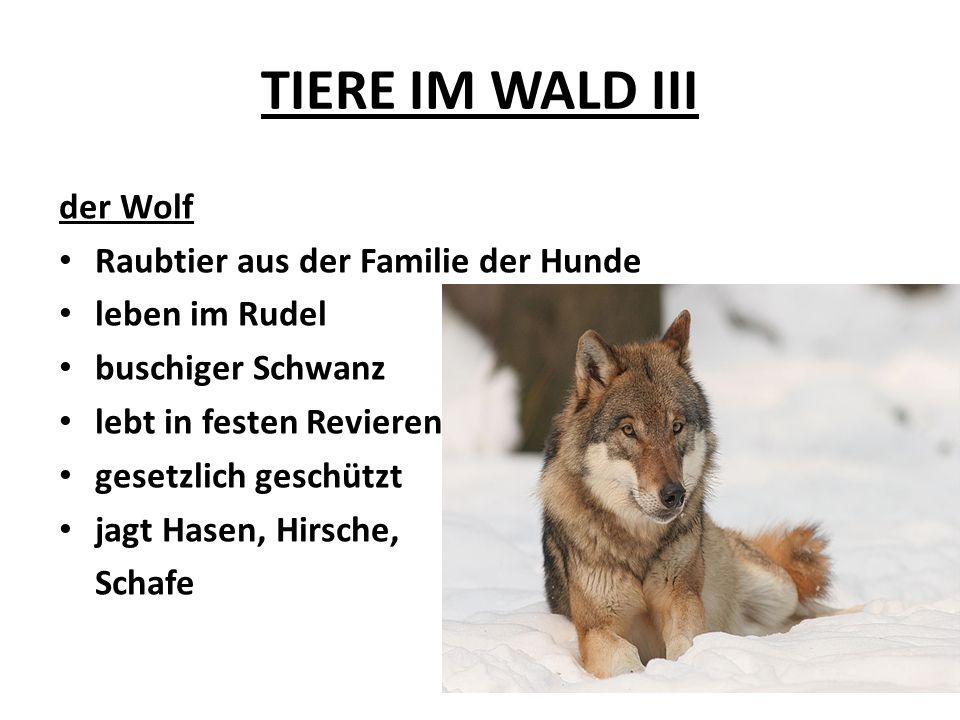 TIERE IM WALD III der Wolf Raubtier aus der Familie der Hunde leben im Rudel buschiger Schwanz lebt in festen Revieren gesetzlich geschützt jagt Hasen