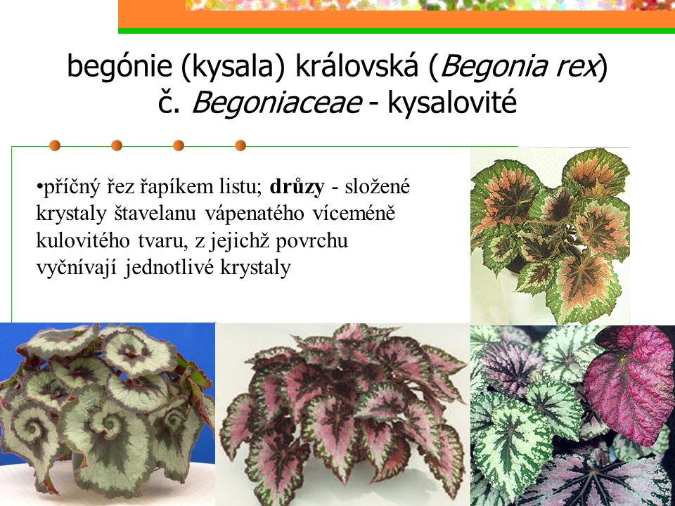 Lycopersicon esculentum, obj. 40×