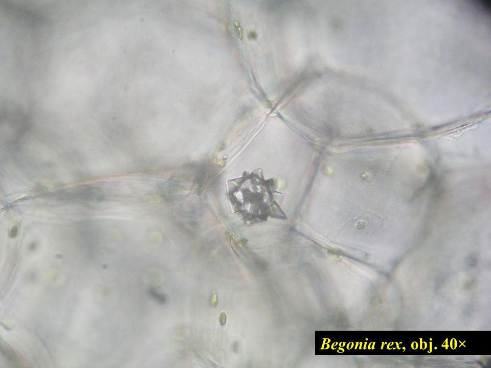 česnek cibule (Allium cepa) č.