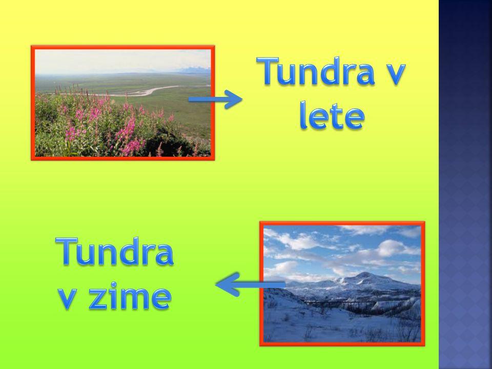 Tundra pokrýva územia, kde je chladno – teplota nad nulou je len niekoľko týždňov v roku.