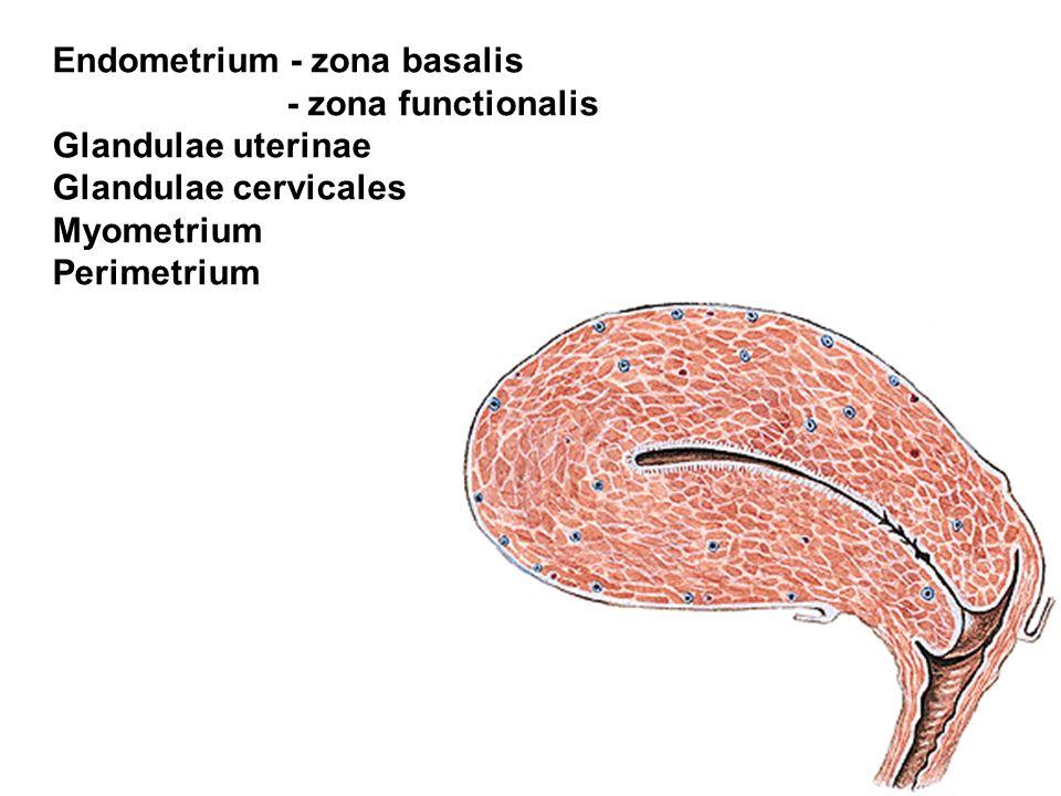 Endometrium - zona basalis - zona functionalis Glandulae uterinae Glandulae cervicales Myometrium Perimetrium