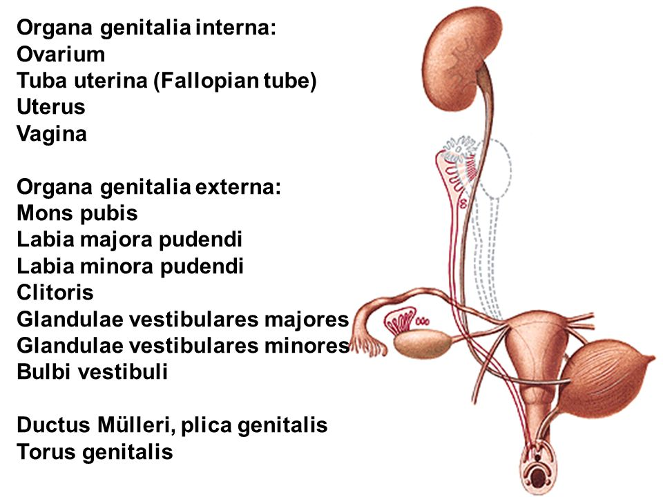 Organa genitalia interna: Ovarium Tuba uterina (Fallopian tube) Uterus Vagina Organa genitalia externa: Mons pubis Labia majora pudendi Labia minora pudendi Clitoris Glandulae vestibulares majores Glandulae vestibulares minores Bulbi vestibuli Ductus Mülleri, plica genitalis Torus genitalis
